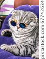 Scottish fold cat in fashionable round glasses 67742634