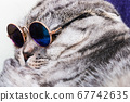 Scottish fold cat in fashionable round glasses 67742635