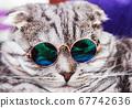 Scottish fold cat in fashionable round glasses 67742636