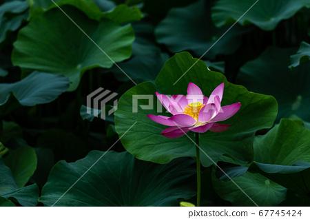 아름다운 연꽃 67745424
