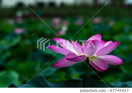 궁남지의 홍련꽃 67745427