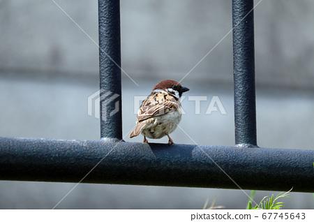 Sparrows turning around 67745643