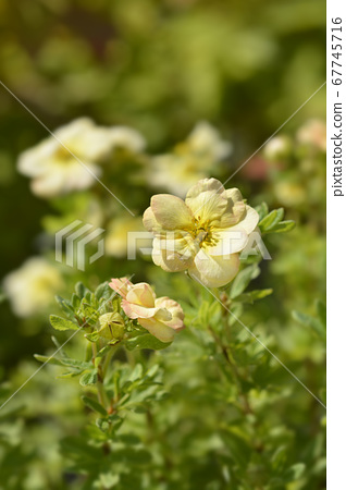 Shrubby Cinquefoil Bella Apple 67745716