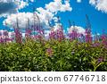 Wild plant Ivan-tea narrow-leaved 67746718