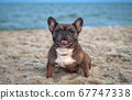 French Bulldog sits on the sand on the beach in the evening. Traveling with pets 67747338