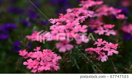 분홍색꽃 여러송이 만개 67747583