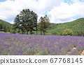 Hokkaido lavender in full bloom 67768145