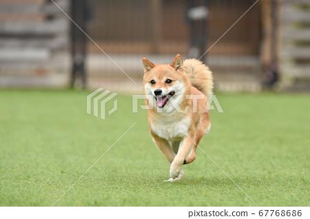 柴犬犬跑 67768686