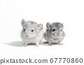 two chinchilla cubs on a white background 67770860