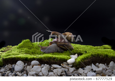 Two large snails Crawling on the fresh green grass On a black background 67777529