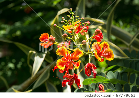 Red Flamboyant flower 67779663