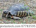turtle 67783595