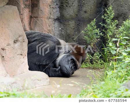 西大猩猩 67788594