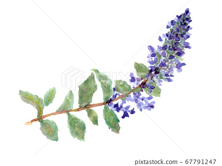Wildflower purple flower painted in watercolor-stock illustration 67791247