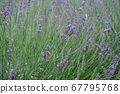 Lavender and bees 67795768