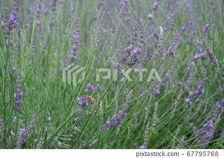 薰衣草和蜜蜂 67795768