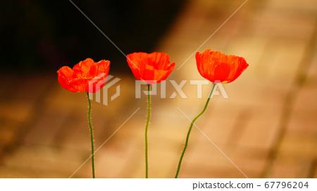 poppy 67796204