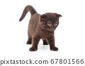 Scottish fold black kitten 67801566