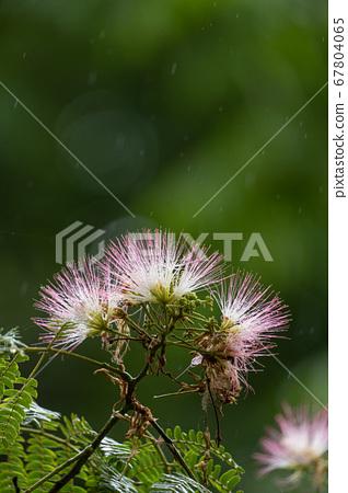 여름 비오는 날의 촉촉한 네무 꽃 클로즈업 67804065