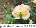 bloomed yellow rose flower in domestic garden after rain 67811830