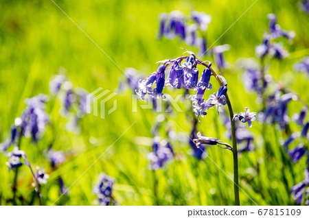 紫色可愛風信子花 67815109
