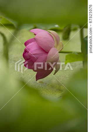 연밭의 연잎사이로 숨어 보여지는 수줍은 분홍의 연꽃 67825076