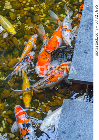 Colorful Japanese Koi fishes swimming in the pond 67825695
