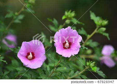 美麗的韓國花Mugunghwa 67828347