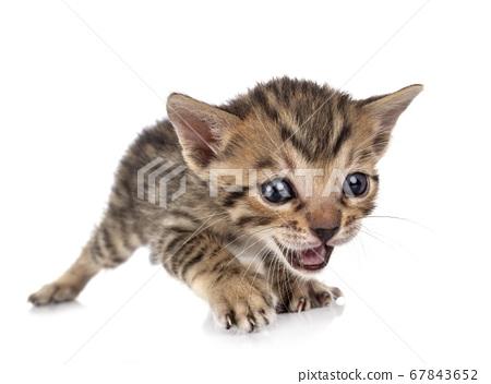 bengal kitten in studio 67843652