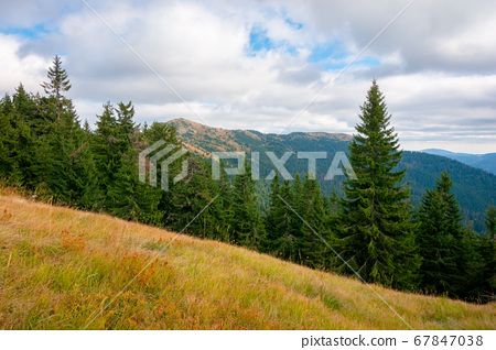 spruce forest on the hillside meadow. colorful 67847038