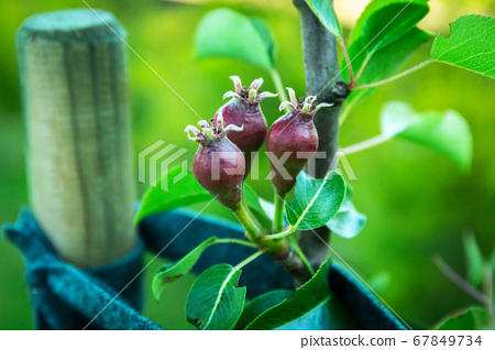 Small pears on the tree in the garden 67849734