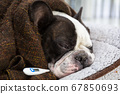 French bulldog wrapped in a blanket 67850693