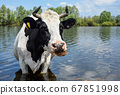 Cow drinking water near pasture. 67851998