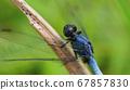 Blue dragon fly 67857830