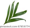 Betel palm leaf isolated on white background 67859774