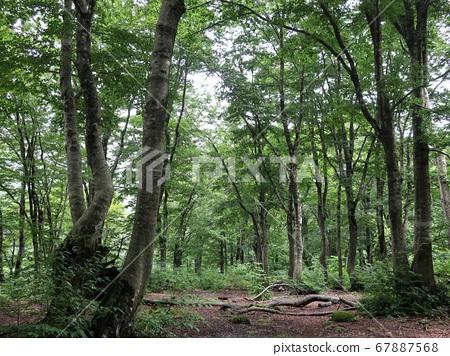 Okunai: Rainy beech forest 67887568