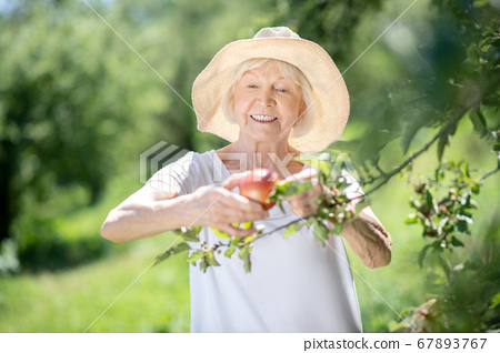Lovely elderly woman picking an apple from the tree 67893767
