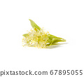Blooming large-leaf Linden or Tilia twigs with yellow flowers. 67895055