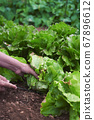 young man collecting a butterhead lettuce 67896612