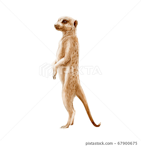 Meerkat standing watercolor painted illustration.  67900675