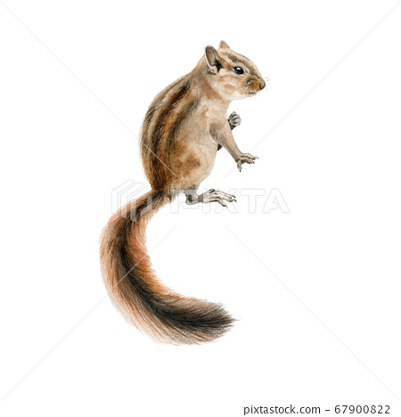 Forest chipmunk (squirrel) watercolor image. 67900822