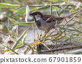 House sparrow (Passer domesticus) 67901859