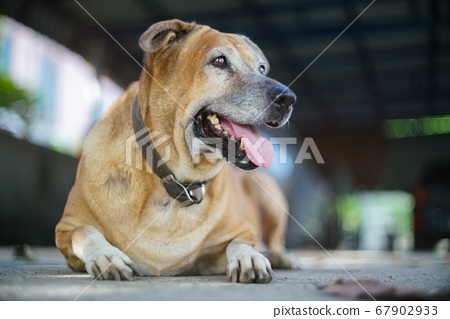 A Brown dog lay on the ground and looking outside 67902933