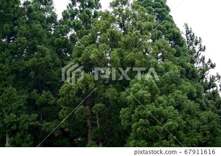 삼나무 67911616