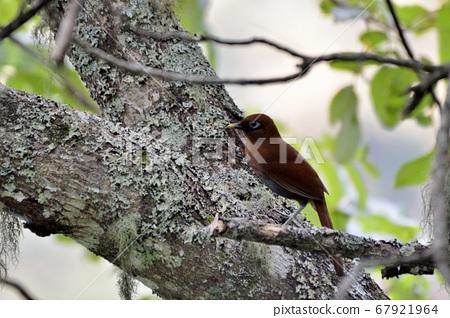 棕噪眉,竹鸟,棕噪?(anthocincla poecilorhyncha ) 67921964