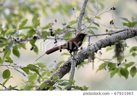 棕噪眉,竹鳥,棕噪?(anthocincla poecilorhyncha ) 67921965