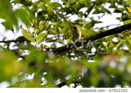 红尾鹟(Stachyridopsis ruficeps) 67922302