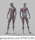 Male anatomy muscle 3DCG illustration material 67951281