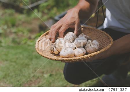 大蒜收穫 67954327