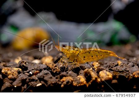 Orange tiger shrimp look for food in aquatic soil. Tangerine Tiger Shrimp 67954937